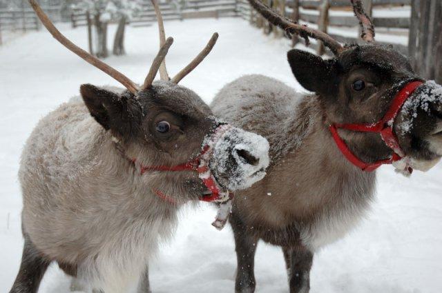 Real Christmas Reindeers Flying